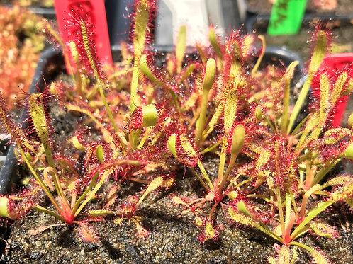 Drosera capensis Bainskloof Seeds