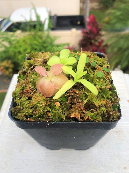 3 Adult Butterworts