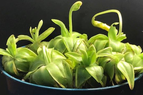 Pinguicula lutea Seeds