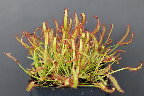Drosera capensis Red Form Seeds