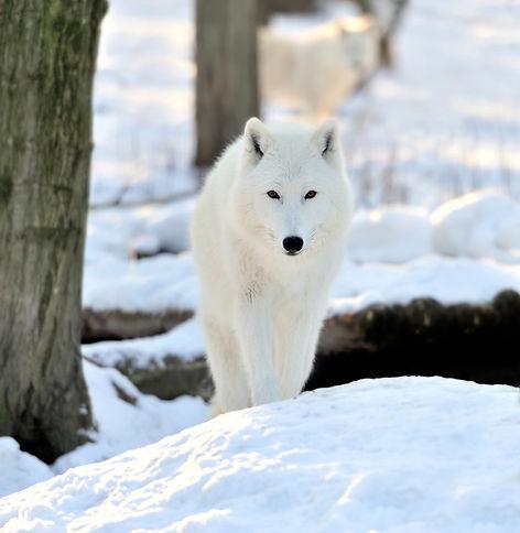 Wolf White.jpg