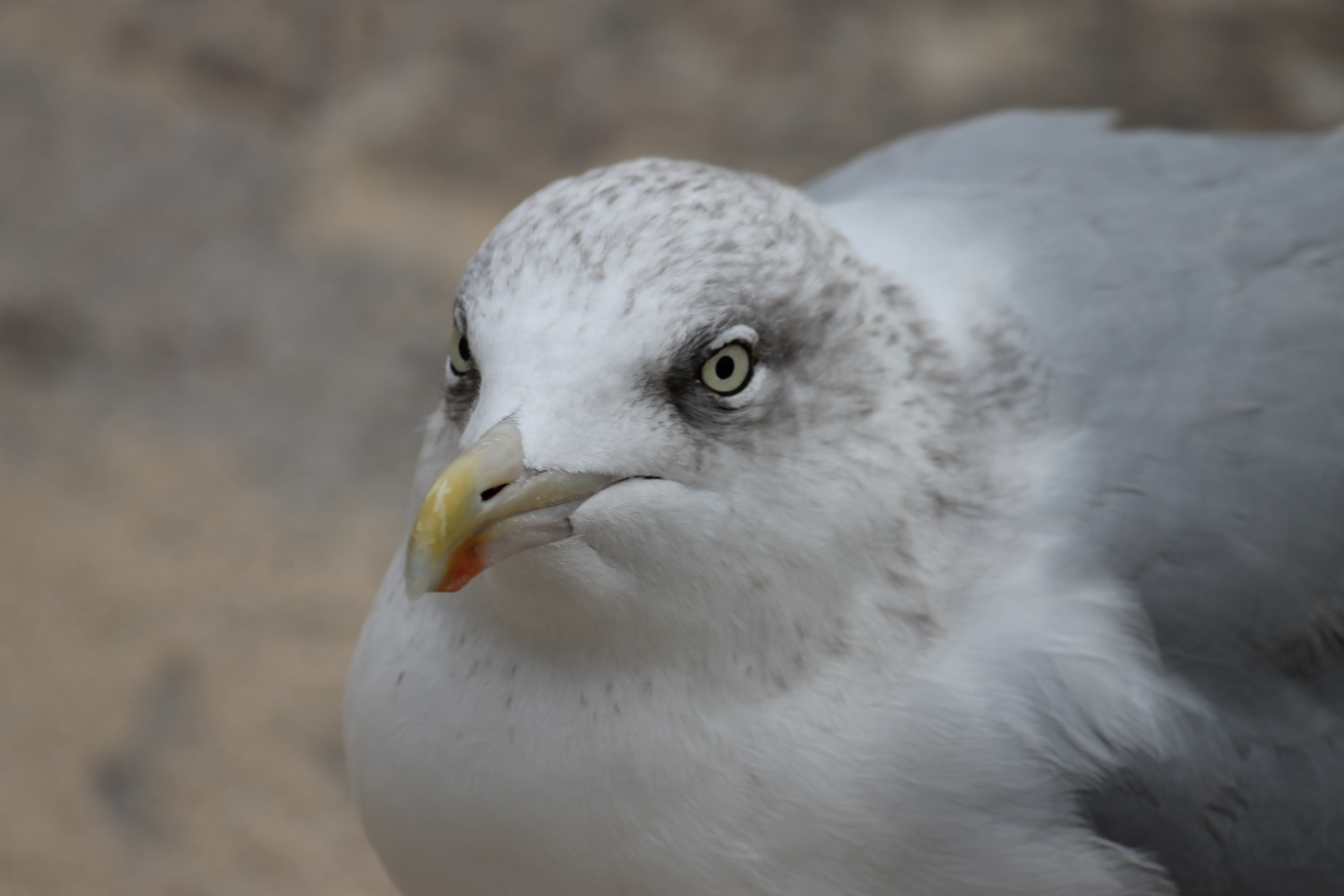 The big Seagulls