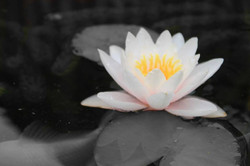 The beautiful water Lilly