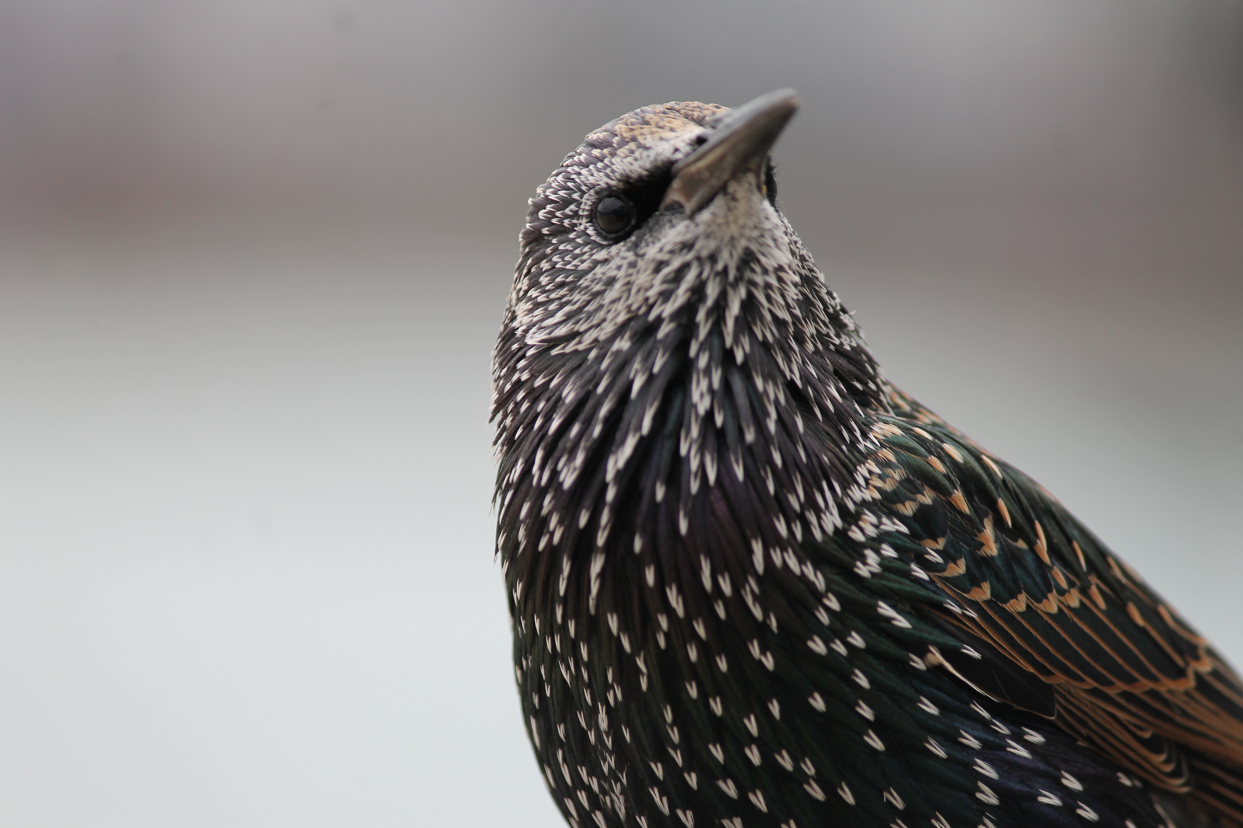 little black bird 2