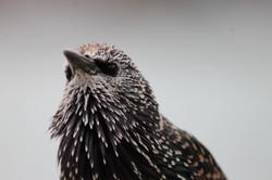 spotty black bird