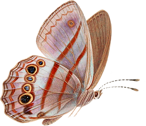 Brush-footed butterfly (2).png