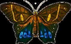 Haetera-Philoctetes-(Common-brown-morpho).png