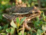 plains_leopard_frog_1-5-15.jpg