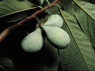 Pawpaws for Platte