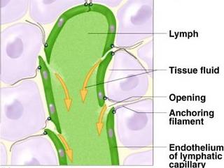 Lymph Vessel.png