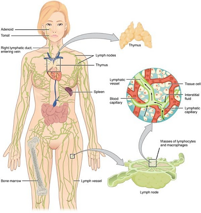 Anatomy of Lymphatic System.png