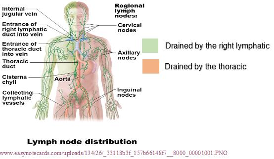 Lymph Node Distribution.png