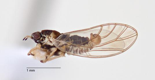 Myotrioza platycarpi Taylor
