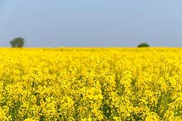 rapeseed-flower-in-spring-field-PEL3CD6.jpg