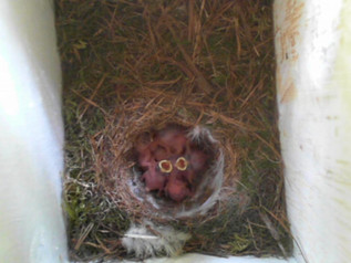 Se på de søte små fuglene som bor i fuglekassa vår!