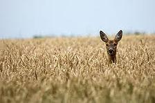DeerFarmField.jpg