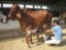 MilkingCow&Calf.jpg