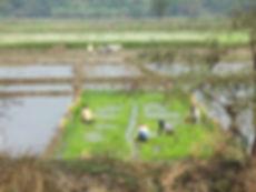 Rice Planting in Mayapur