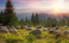 マクアケー羊.jpg