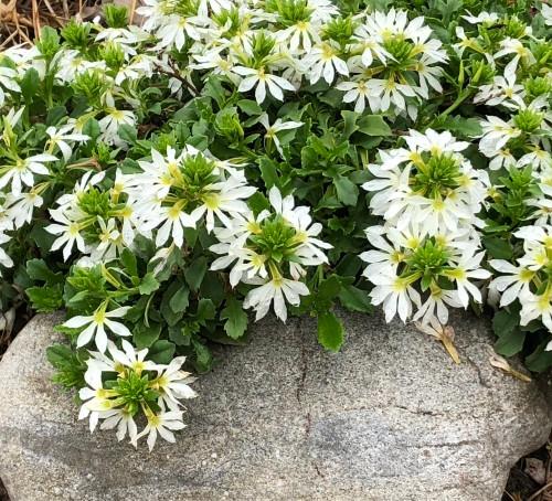 fanflower.jpg