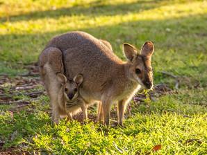 オーストラリア有袋類