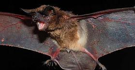 morcego(3).jpg