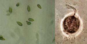 Fitoflagelados.jpg