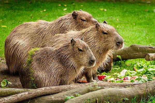 capybara-1599766_960_720.jpg