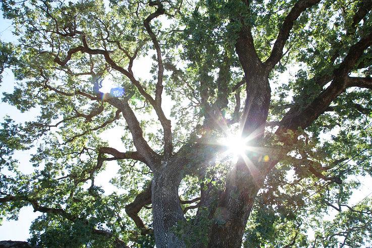 Image of oak tree in the sunlight.