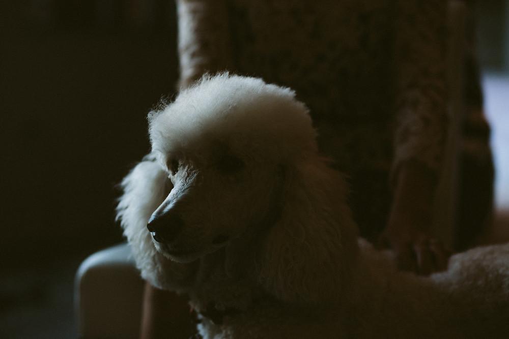 Bride with pet poodle