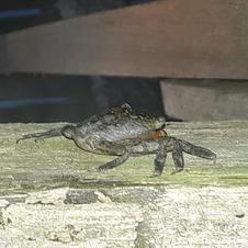 Maria-mulata (Goniopsis cruentata) avistada nas construções (é comum habitarem o interior das casas, a parte superior, as vigas, etc.)