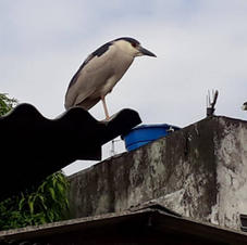 Socó dorminhoco ou savacu (Nycticorax nycticorax), ave costeira, sobre as telhas de uma casa.