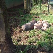 Porcos domésticos descansando em praça da comunidade.