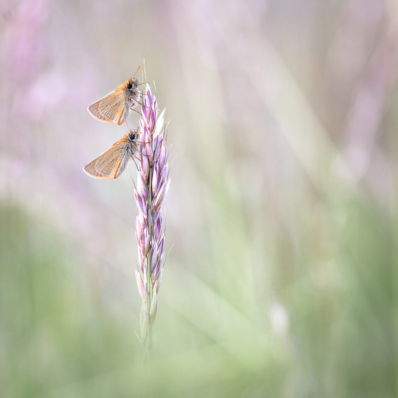 A pair of Little Skippers