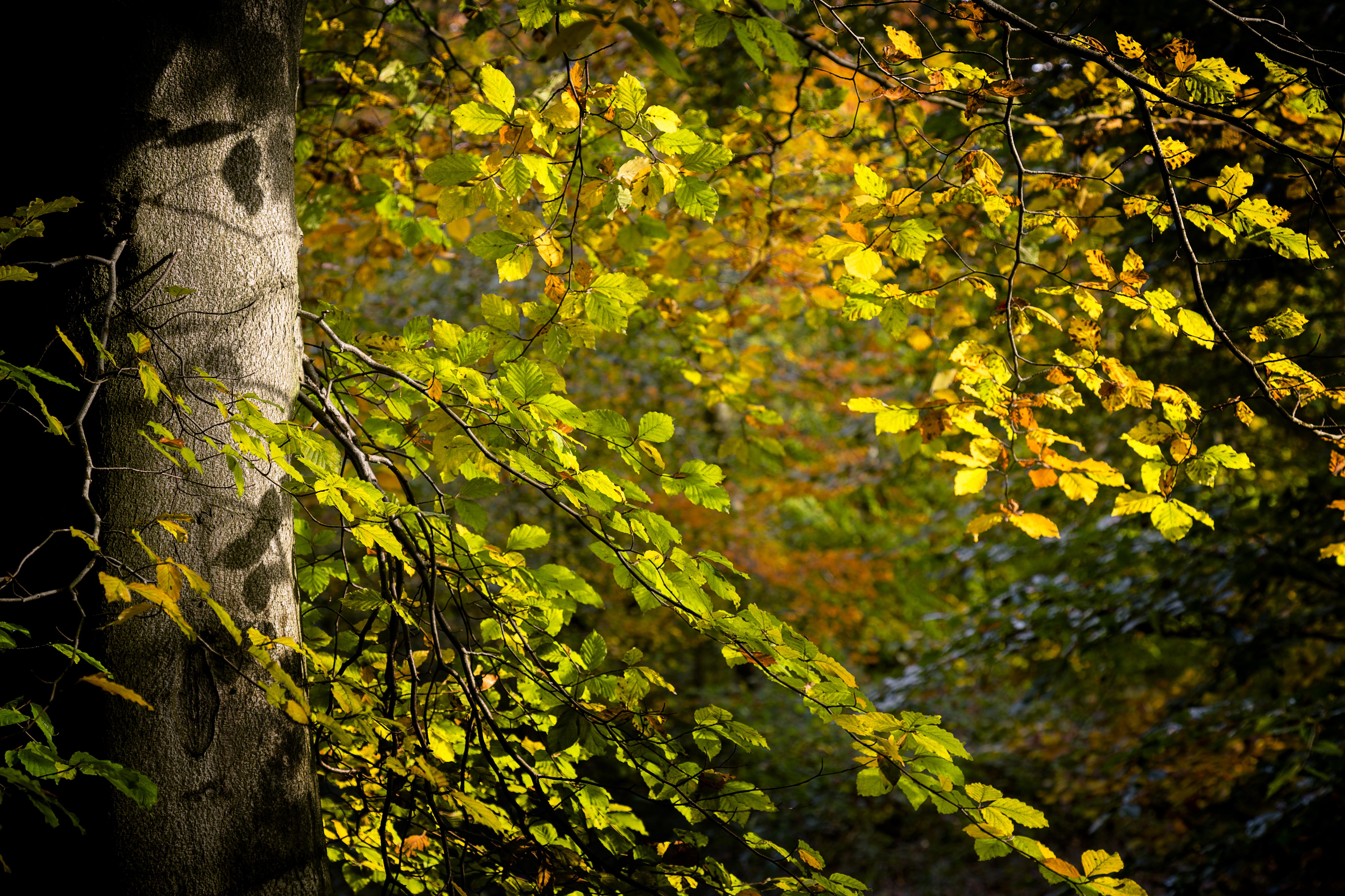 Beech tree woodland