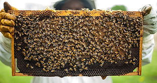 why-beekeeping-is-important.jpg