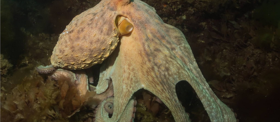 Cephalopods in the UK