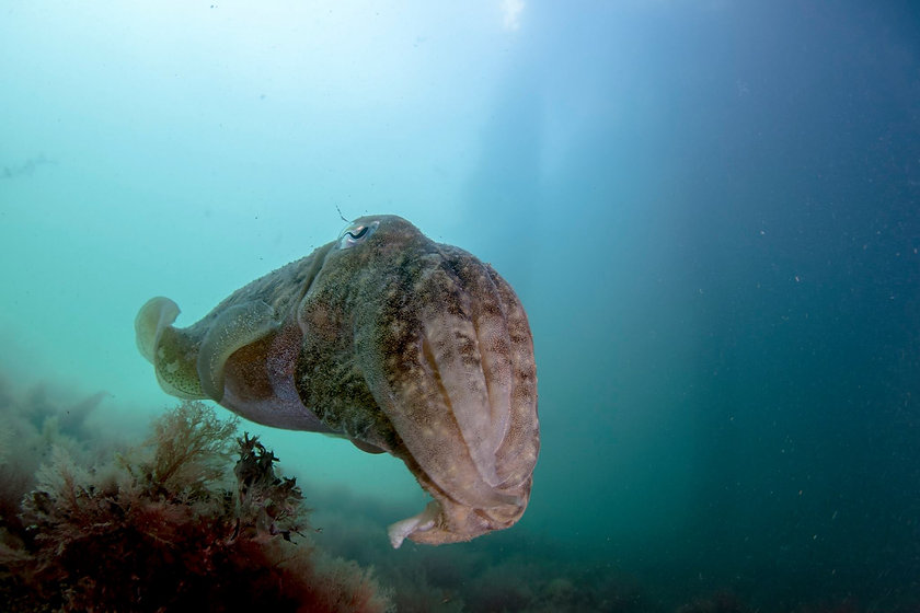 Cuttlefish Home Page