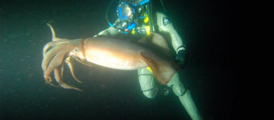 The disappearance of the Humbolt Squid (Dosidicus gigas).