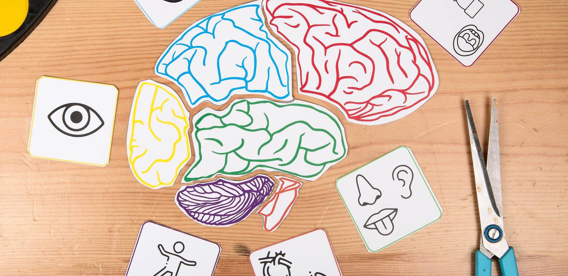 פאזל חלקי מוח