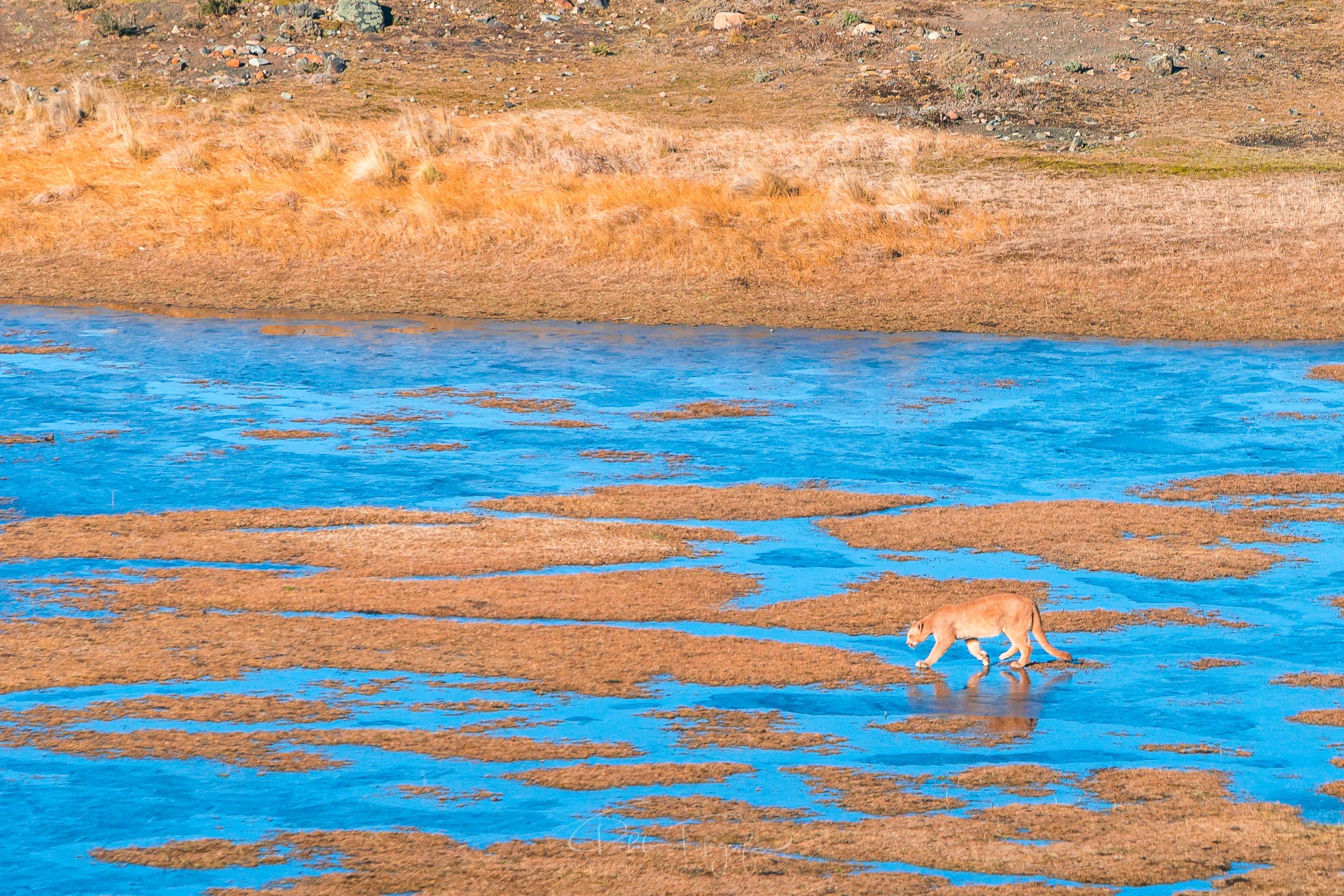 Puma en la Laguna