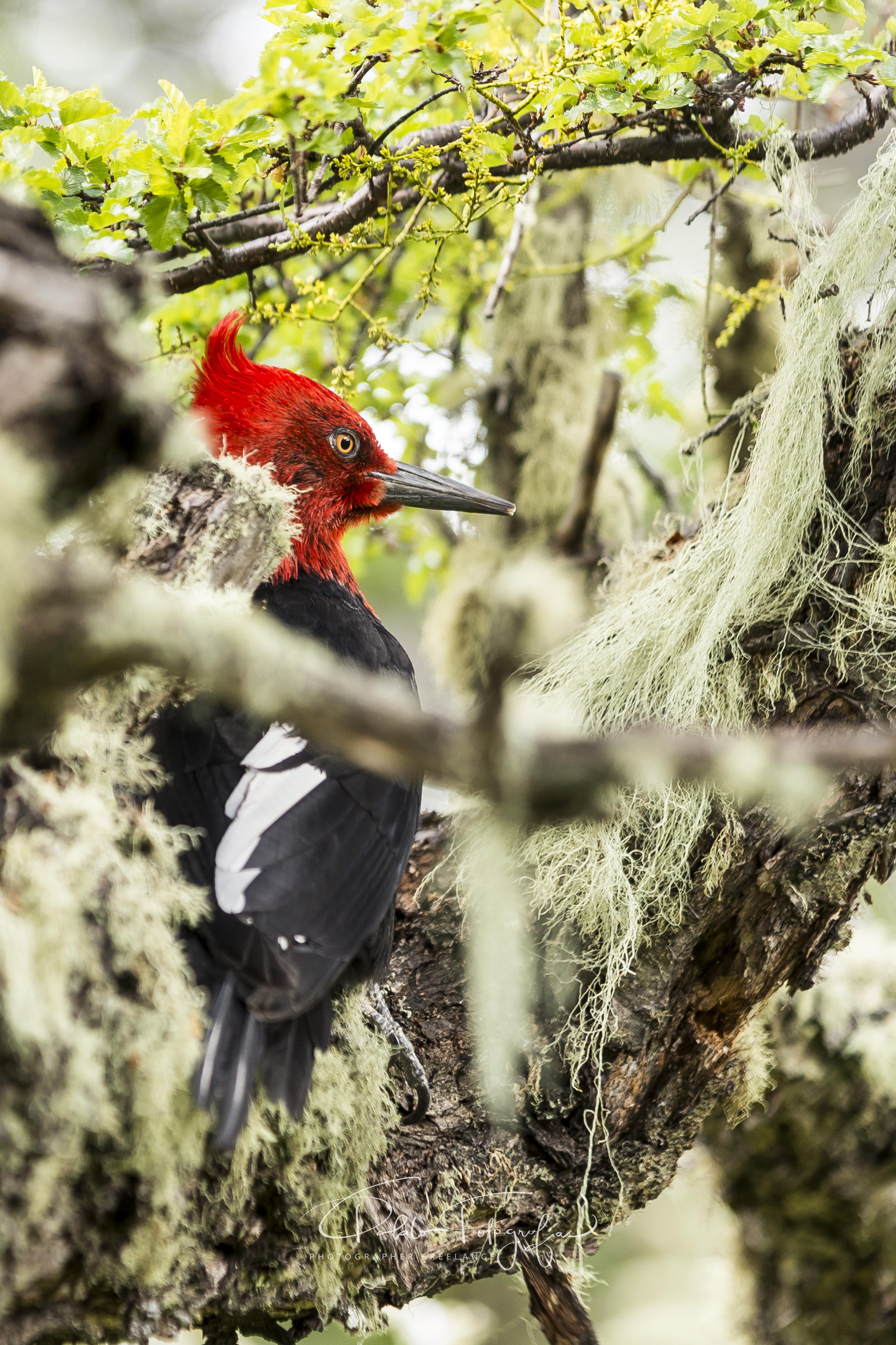 Pájaro Carpintero (macho)