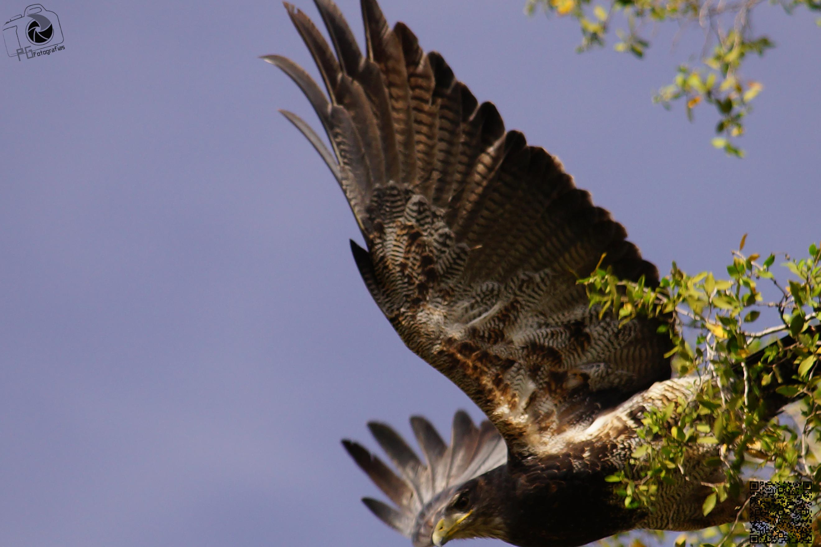 Águila Mora