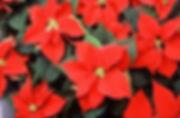 300px-Poinsetta.jpg