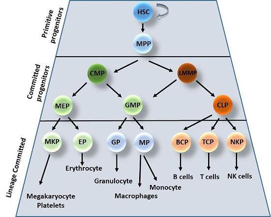 Hematopoiesis .jpg