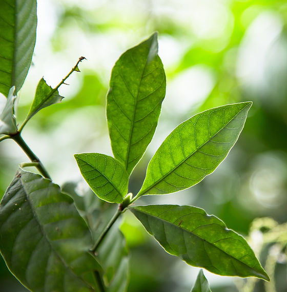 Close%20up%20of%20Psychotria%20Viridis%20leafs.%20One%20of%20the%20Ayahuasca%20plants.%20Used%20in%2