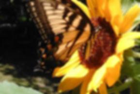 butterfly | sunflower