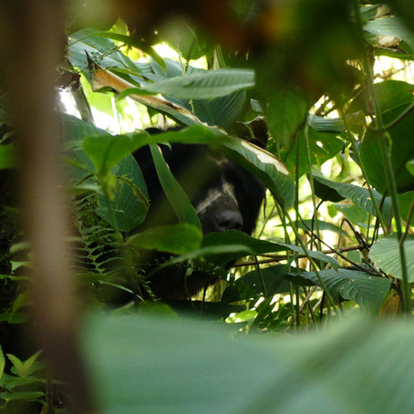 Following the Andean Bear (Tremarctos ornatus)