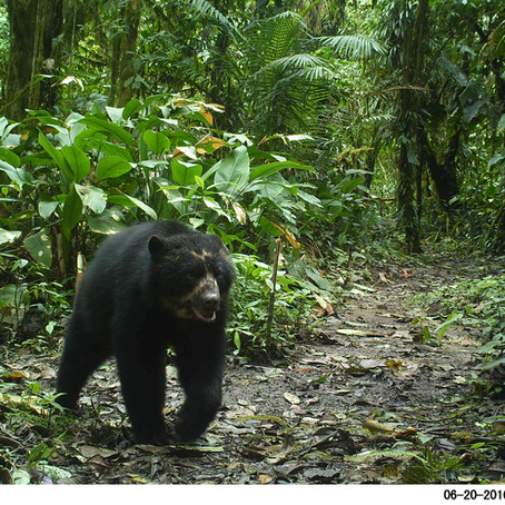 How many Andean Bears are there in Santa Lucía?