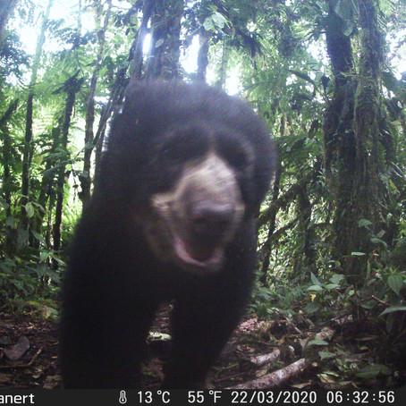 Andean Bears in Santa Lucía